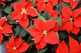 providing the gift of water for poinsettias and other ornamental