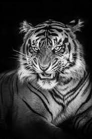 black and white photography tiger siudy