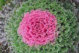 flowering kale payne s nurseries