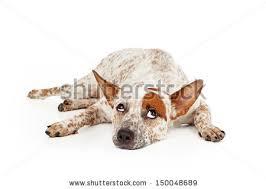 australian shepherd queensland heeler mix puppies red heeler stock images royalty free images u0026 vectors shutterstock