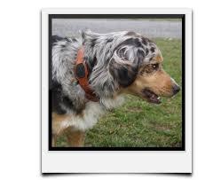 australian shepherd 9 monate dogssense do you have the dogs u0027 sense go get it indiegogo