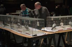 homing pigeon show in england