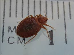 Bed Bug Nest Pictures Bed Bugs Pictures High Resolution Bed Bug Images