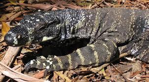 Seeking Lizard Lovely Large Lizards On The Prowl Seeking Monitor Sightings