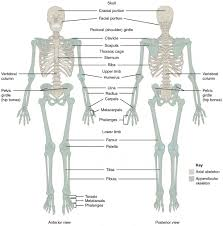 What Is Human Anatomy And Physiology Divisions Of The Skeletal System Anatomy And Physiology I