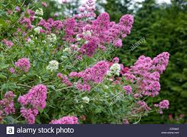 cottage garden flowers red valerian with pink flowers centranthus ruber and white flowers