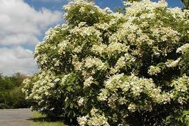 pruning ornamental trees and shrubs space for