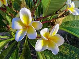 plumeria flower plumeria flower meaning its symbolism in various cultures
