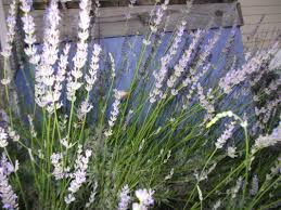 plants that keep mosquitoes away repellents