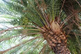 Indoor Trees For The Home by Edible Tropicals How To Grow Date Palms From Seed