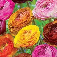 ranunculus flower ranunculus picotee mix k bourgondiens