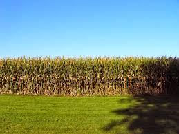 three things very dull indeed corn in the backyard 2014 weeks