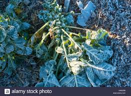 frost and ice on plants and vegetables brussels sprouts on an