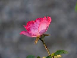 Rose Flower Images Free Photo Rose Flower Pink Flowers Free Image On Pixabay