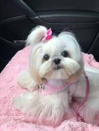 list of shih haircut my mum s favorite puppy picture of me shih tzu friendzy