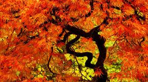 kotojazz 19 japanese maple trees kotojazz com