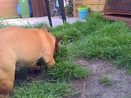 french bulldog fides eating raw food youtube