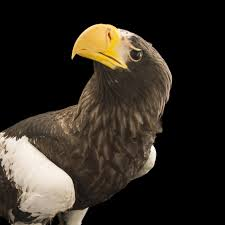 stellers sea eagle wallpapers steller u0027s sea eagle national geographic