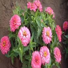 favorable 100pcs common zinnia seeds potted common zinnia flower