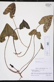 native plants of south carolina asarum arifolium species page isb atlas of florida plants