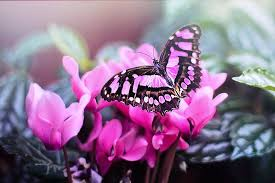 pink butterfly free photo on pixabay