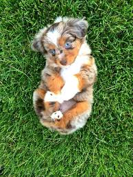 australian shepherd in spanish best 25 australian shepherd mix ideas on pinterest australian