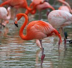 flamingo wallpapers animal hq flamingo pictures 4k wallpapers