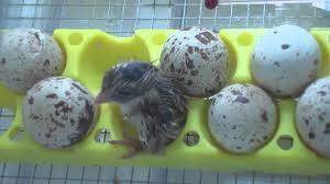gambel quail eggs hatching april 23 2011 part 3 youtube