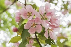 free photo apple tree flowers bloom free image on