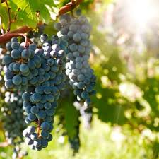Planting Grapes In Backyard How To Make Wine In Your Backyard Winemaking Beginners