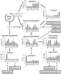molecules free full text early embryogenesis of brown alga