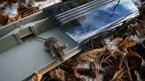 Are Mice Blind Best Type Of Live Mouse Trap Single Or Multi Catch Youtube