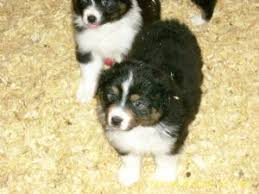 south carolina australian shepherd rescue australian shepherd puppies in michigan
