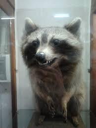 Evil Raccoon Meme - excellent raccoon meme raccoon funny memes best of the best