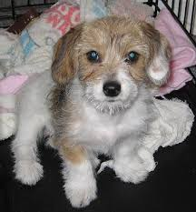 bichon frise jack russell for sale 34 unreal dachshund cross breeds you have to see to believe