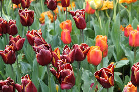 wordless wednesday thanksgiving point tulip festival when s my
