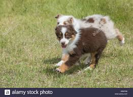 australian shepherd dog puppies nine week old red merle and red tri australian shepherd dogs stock