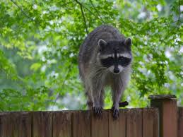 Raccoons In Backyard How To Get Rid Of Raccoons Facts Photos U0026 Control