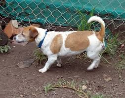 haircut ideas for long hair jack russell dogs jack russell rescue australia home facebook