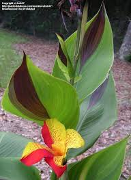 tropical plants that can handle cold canna lilies