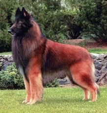 belgian sheepdog hound belgian tervuren shepherd dogs some rare pinterest belgian