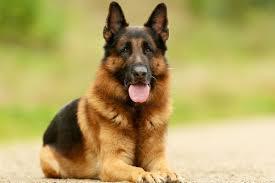 australian shepherd dog names famous dog names american kennel club