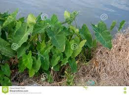 louisiana native plants elephant ears plant stock photo image 70369862