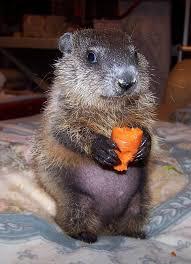 honor today u0027s baby groundhog aww