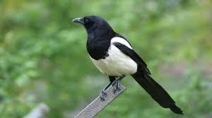 Imagenes Del Animal Urraca | el pájaro más inteligente del mundo la urraca youtube