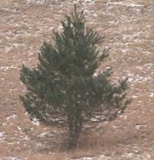 live christmas tree raleigh county solid waste authority recycles live christmas tre