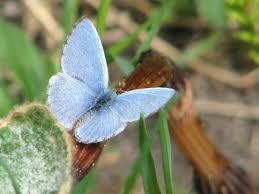 native plants for butterflies file spring azure male jpg wikimedia commons