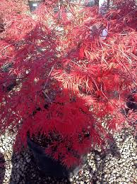 how to germinate japanese maple seeds youtube