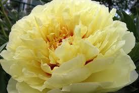 yellow peonies beloved peony cut flowers