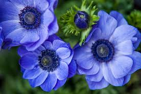 anemones flowers blue anemones flowers of photograph by rainbow